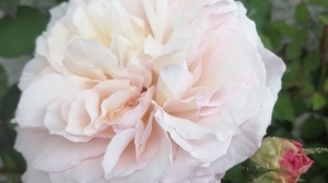 Jardins Christie roses @ Florian Hermouet_20200420_135451