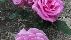 Jardins Christie roses @ Florian Hermouet_20200420_135535