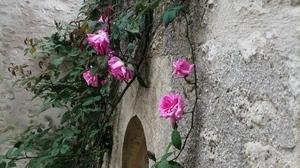 Jardins Christie roses @ Florian Hermouet_20200420_135554