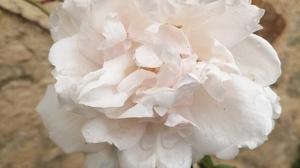 Jardins Christie roses @ Florian Hermouet_20200420_135834