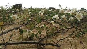 Jardins Christie roses @ Florian Hermouet_20200421_160003