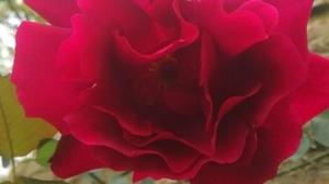 Jardins Christie roses @ Florian Hermouet_20200421_160040