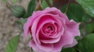 Jardins Christie roses William Christie @ Florian Hermouet_20200423_090720
